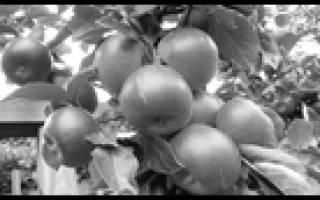 Приметы про яблоню — зацвела, засохла, про яблоки