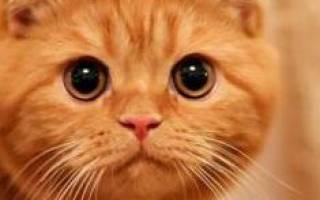 Сонник рыжая кошка: к чему снится, толкование сна