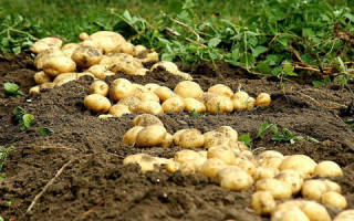 К чему снится картошка в мешках — значение для женщины