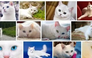 Сонник — белая кошка к чему снится белая кошка во сне приснилась