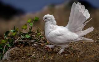 Приметы про белого голубя: к чему прилетел во двор, увидеть на улице