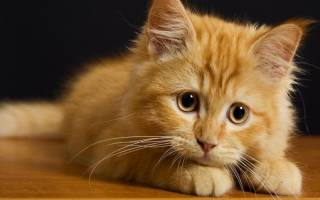 К чему снится рыжий котенок: самые точные толкования известных сонников