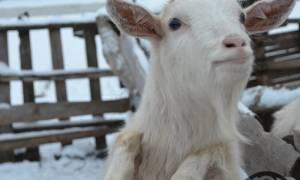 Коза (Овца) и Свинья (Кабан): совместимость мужчины и женщины в любви