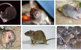 К чему снится крыса женщине, сонник – крыса для женщины во сне