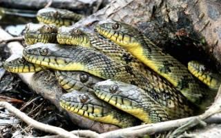 К чему снятся много змей женщине