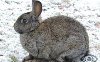 Кролик (Кот) и Свинья (Кабан): совместимость мужчины и женщины