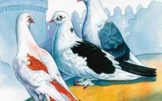 К чему голубь залетает в окно дома: значение приметы