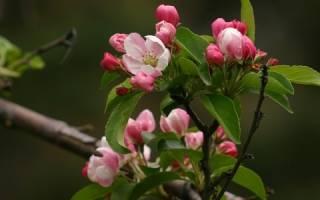 Зацвела яблоня в сентябре приметы