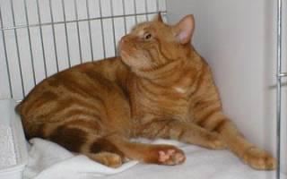 К чему снится рыжий кот: сонник, женщине, девушке, кошка, большой, бело-рыжий, что значит, увидеть, мужчине, в руках