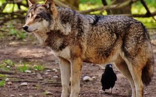 Волки к чему снятся — приснились волки во сне сонник