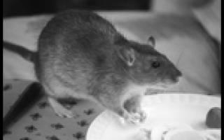 Крыса в доме и на улице – приметы спорные