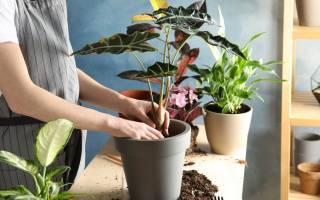 Можно ли пересаживать комнатные цветы осенью?
