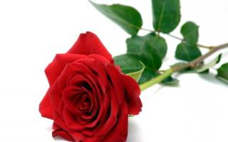 К чему снятся красные розы по сонникам и основным значениям