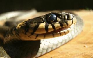 К чему снится укус змеи? К БЕДЕ! Укусила змея во сне, что это значит? Толкование в соннике