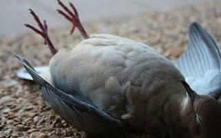 Сонник, к чему снятся голуби: белые, мертвые, голубь в руках во сне