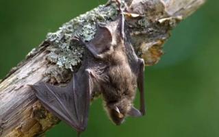Летучая мышь залетела в дом или квартиру — примета: к чему это и что делать?