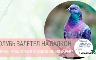 Что означает примета: голубь залетел на балкон