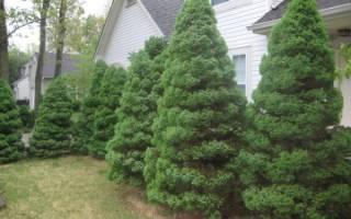 Почему нельзя сажать хвойные деревья на участке