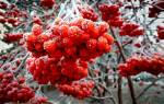 Приметы про рябину: если много или нет ягод, можно ли сажать возле дома дерево
