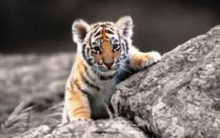 Тигр и Петух — совместимость по году рождения, мужчина, женщина